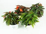 Begonia Summer Wings