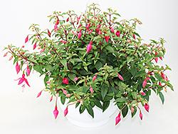Fuchsia Ampeln