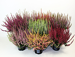 Calluna Gardengirls Hauptsortiment